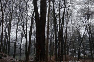 Chore drzewo z tarnogórskiego parku