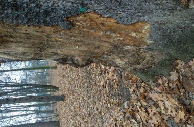 Chore drzewo przeznaczone do wycinki
