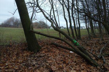 Drzewo przeznaczone do wycinki