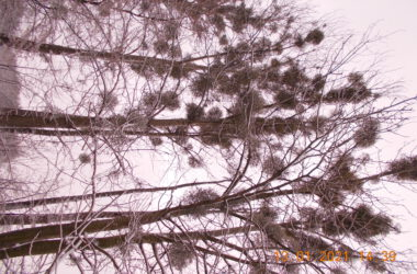 Chore drzewo