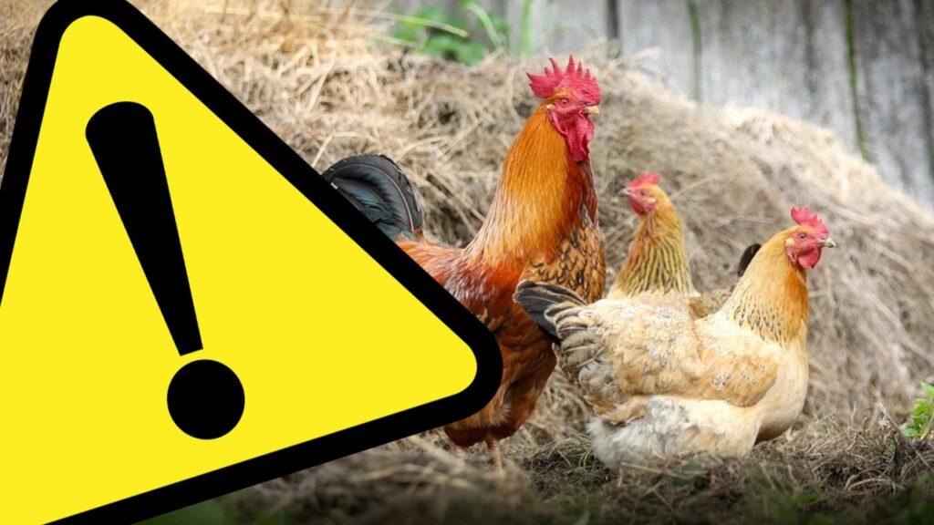 Kogut i kury - ostrzeżenie przed ptasią grypą - infografika
