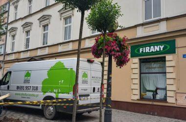 Dwa drzewa czekające na posadzenie na Placu Wolności