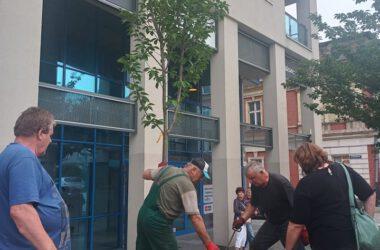 Cztery osoby na sadzące drzewo na rynku w Tarnowskich Górach