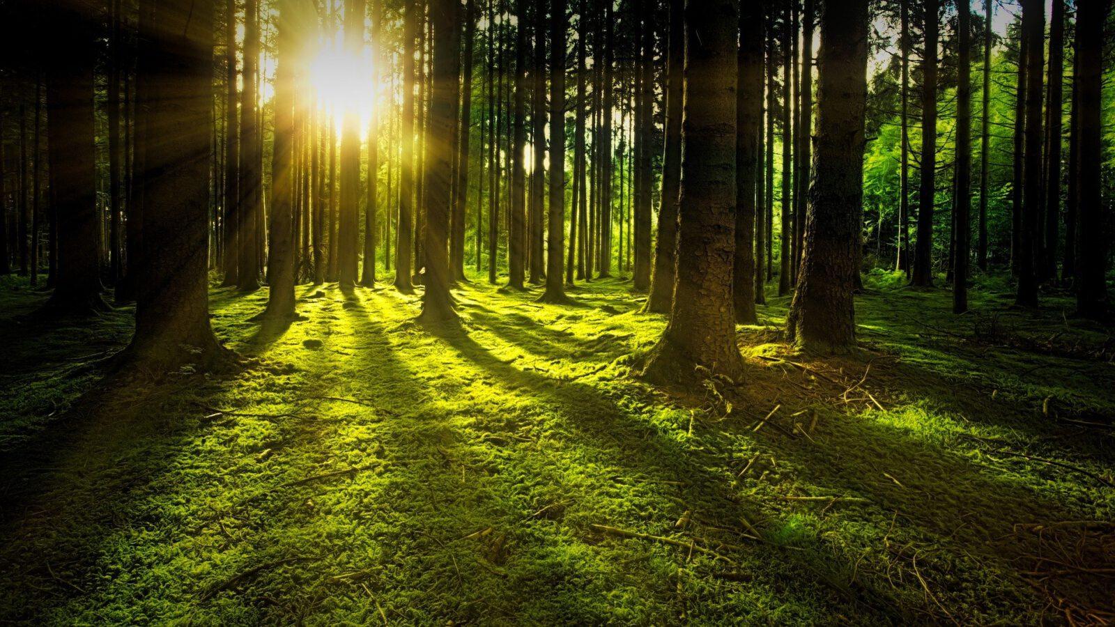 Las z przedzierającymi się przez pnie promieniami słońca